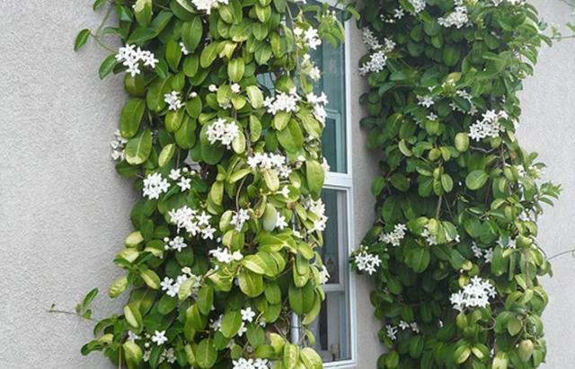 История комнатного растения стефанотис флорибунда, который обильно цветет