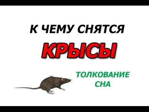Сонник крыса ???? к чему снится крыса во сне женщине