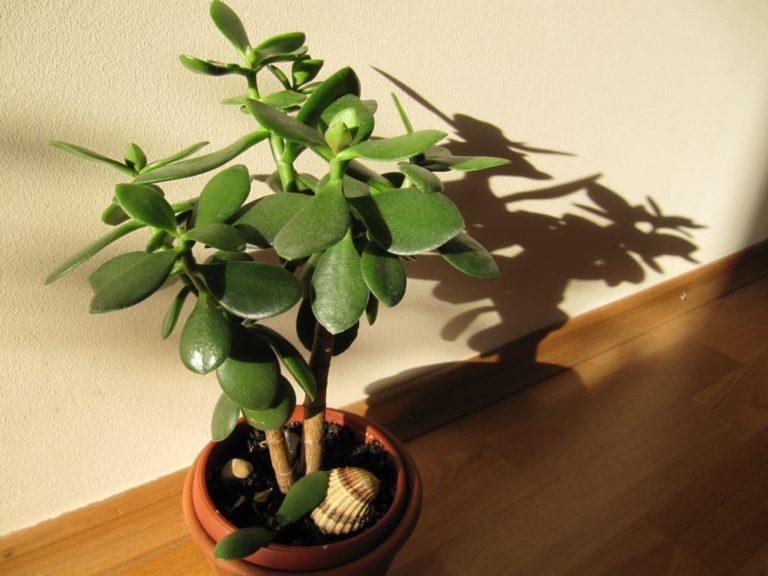 Денежное дерево: можно ли держать дома, приметы и суеверия о толстянке