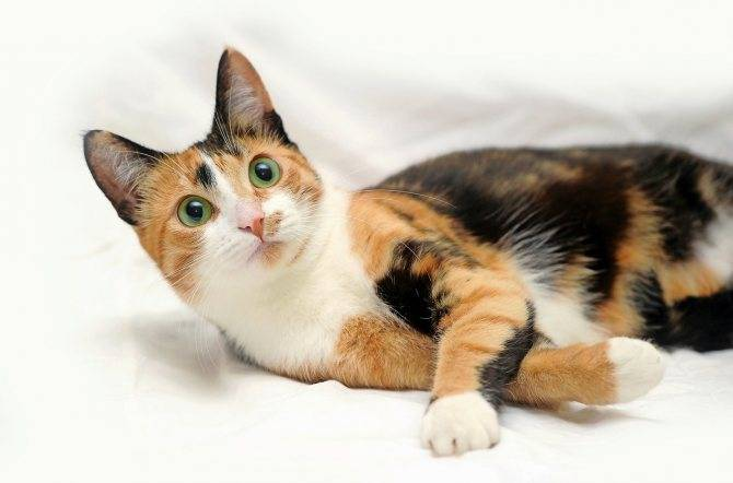 Народные приметы и суеверия: к чему трехцветная кошка в доме