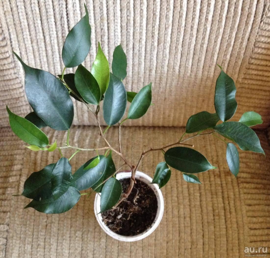 Фикус: приметы и суеверия о растении