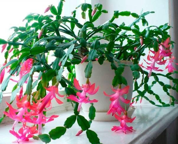 Декабрист (цветок): приметы и уход за комнатным цветком. декабрист: какие тайны хранит в себе этот домашний цветок декабрист можно ли держать дома