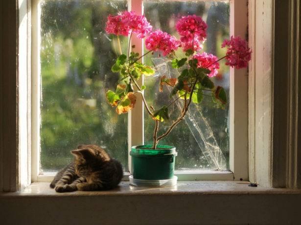 Герань в доме: приметы и суеверия