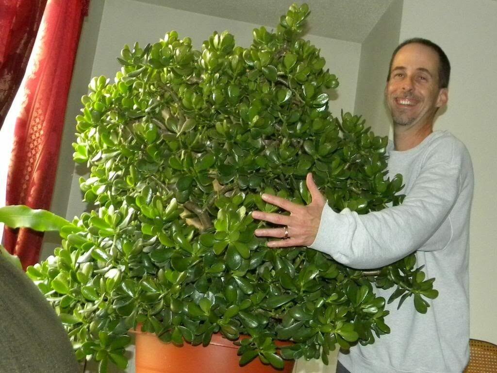 Живое дерево лечебные свойства и противопоказания