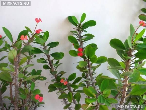 Молочай беложильчатый польза и вред в квартире — Все цветы