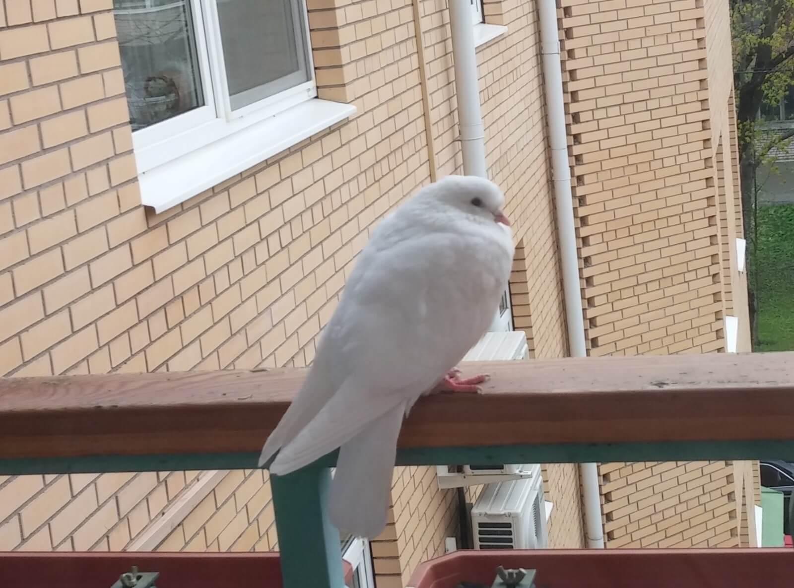Что предвещает голубь, залетевший в окно