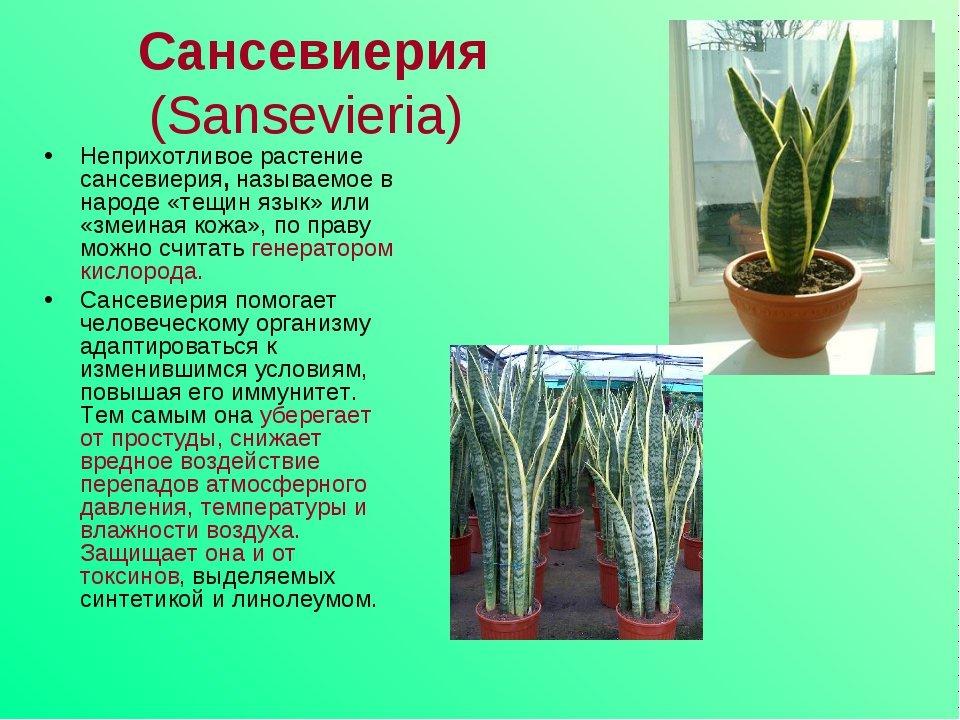 """Цветы """"щучий хвост"""": уход в домашних условиях, фото, польза и вред - sadovnikam.ru"""