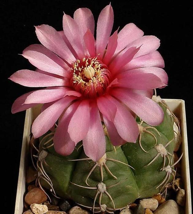 Что говорят приметы, если в доме цветет кактус