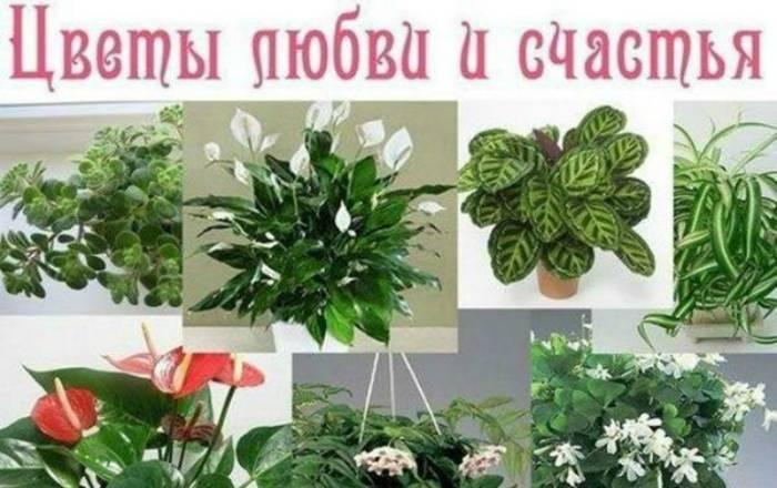 Анютины глазки приметы и уход за цветком, легенда растения