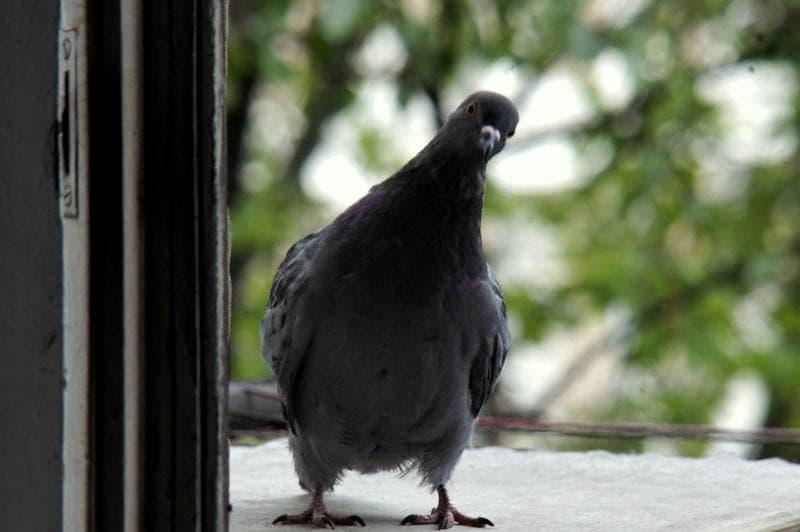 К чему стучится птица в окно — толкование приметы в зависимости от вида пернатого