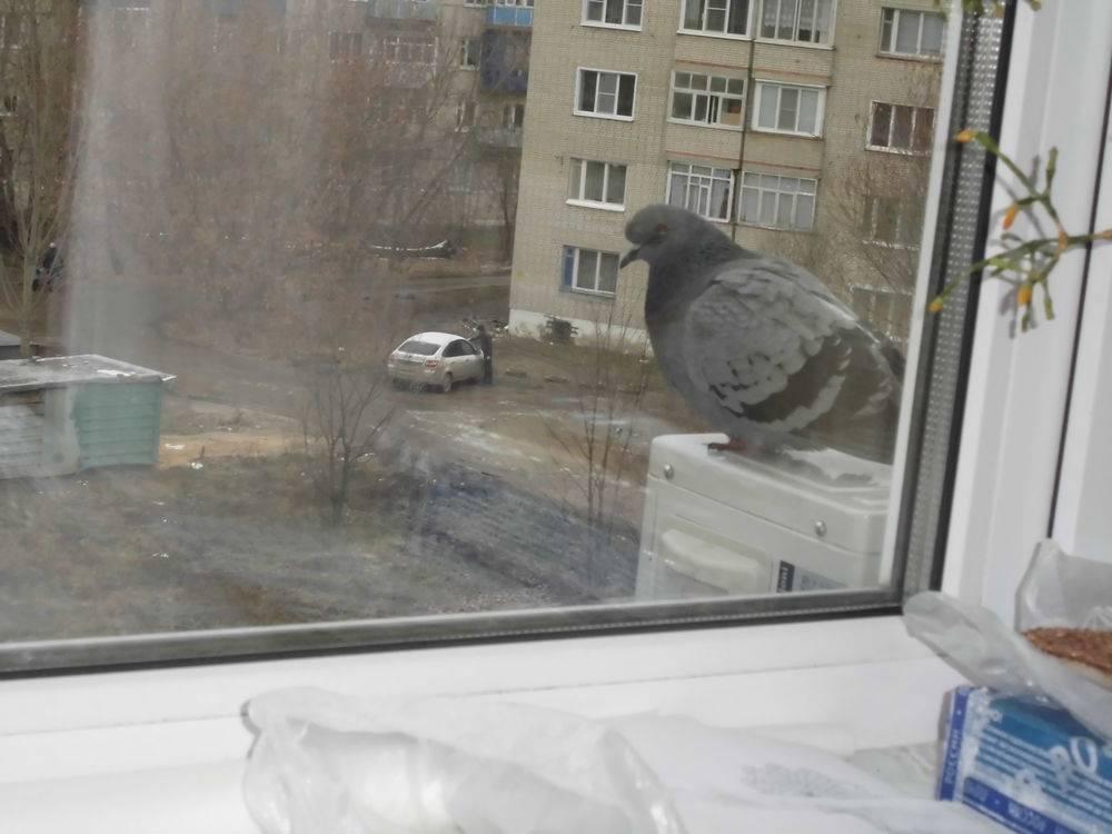 К чему голубь садится на окно – приметы - мои правила