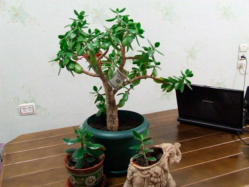 Денежное дерево, чтобы водились деньги