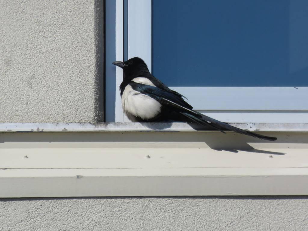 К чему птица бьется в окно: если птица ударилась в окно к чему это