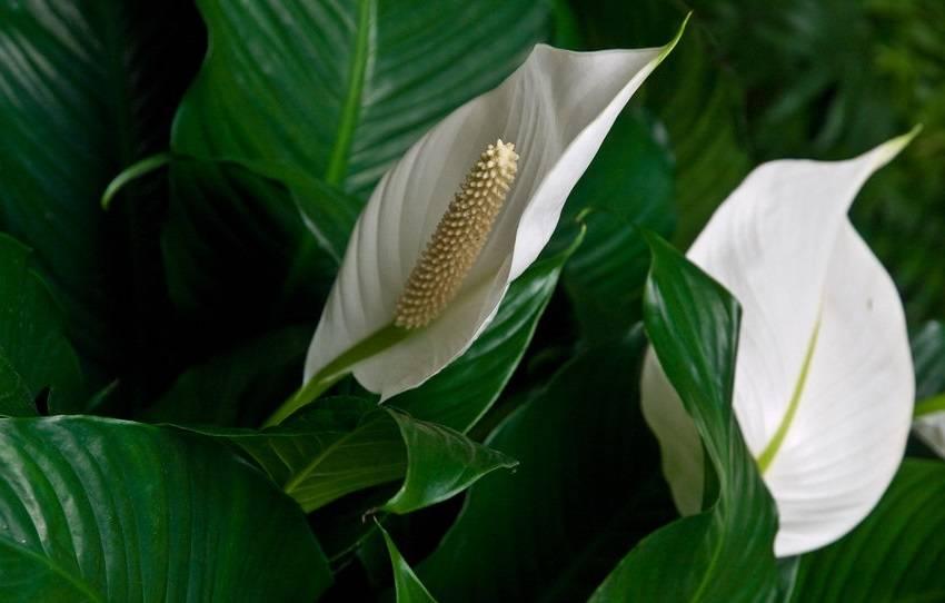 """Цветок """"женское счастье"""" – приметы для женщин (замужних и одиноких). почему спатифиллум нужен в каждом доме?"""