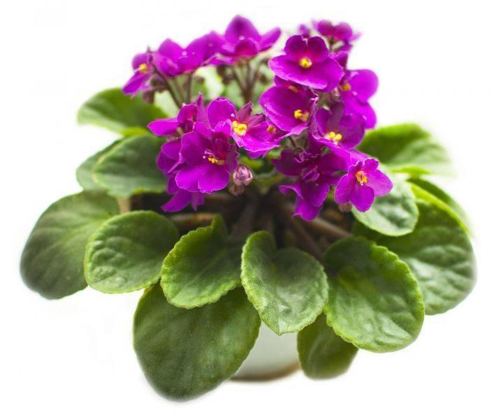 Фиалка приметы, цветок приносит удачу и защищает от сглаза