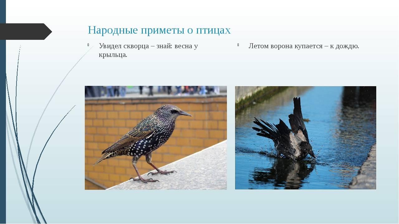 Приметы о мертвой птице в доме, на балконе, на пороге, улице