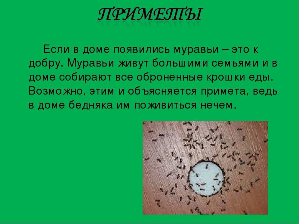 Домашние муравьи в квартире: причины появления, как избавиться, фото