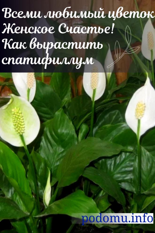Спатифиллум - женский цветок счастья
