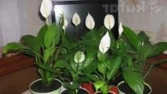 С какими словами поливают цветок женское счастье. спатифиллум – приметы, мифы и легенды. как смягчить воду для полива комнатных растений