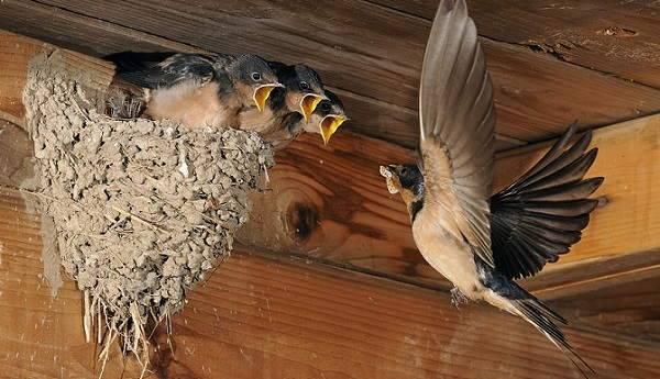 Ласточки вьют гнезда под нашей крышей: толкование приметы