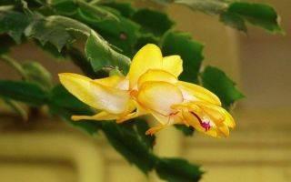 Цветок декабрист: приметы и суеверия, можно ли держать дома, зацвел