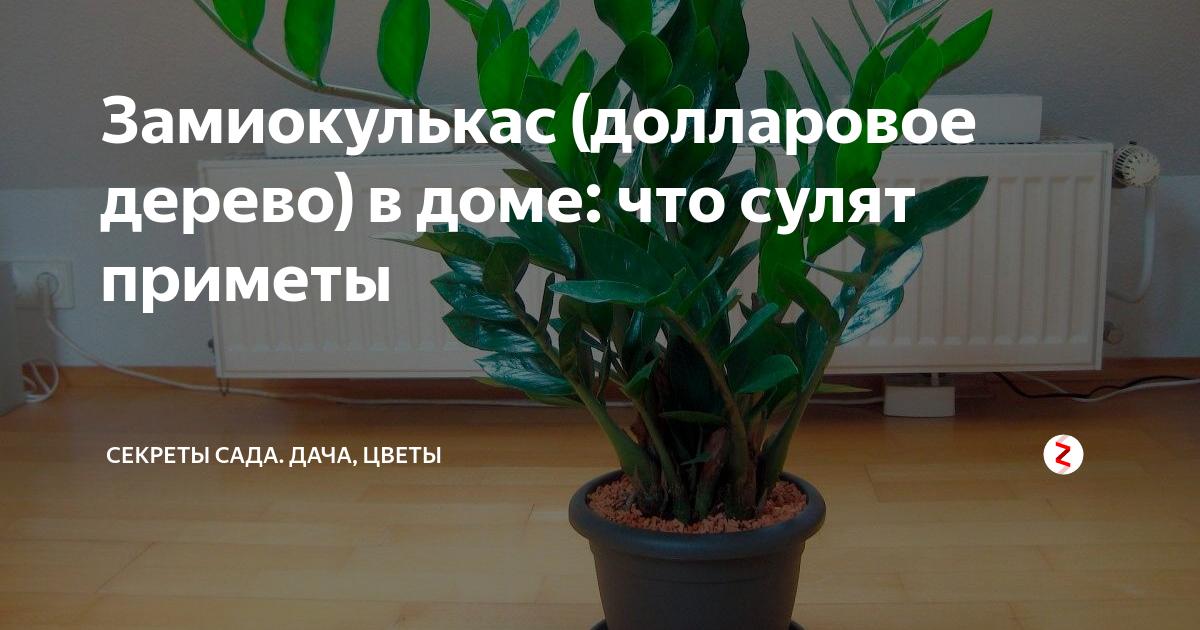 Приметы и суеверия о замиокулькасе: цветок безбрачия, почему плачет, цветет, можно ли держать в доме, в спальне, значение по фэн-шуй