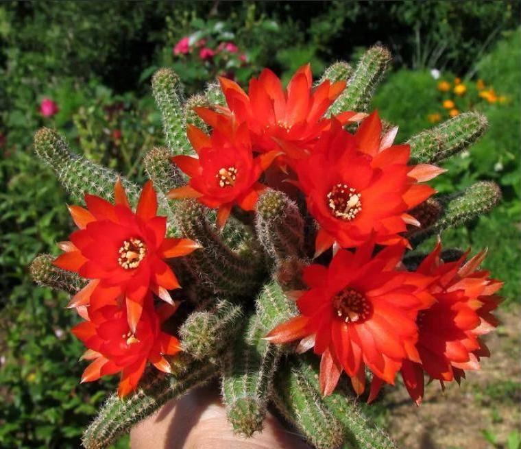 Можно ли держать кактус в доме: энергетика растения, приметы и суеверия   helperlife.ru   яндекс дзен