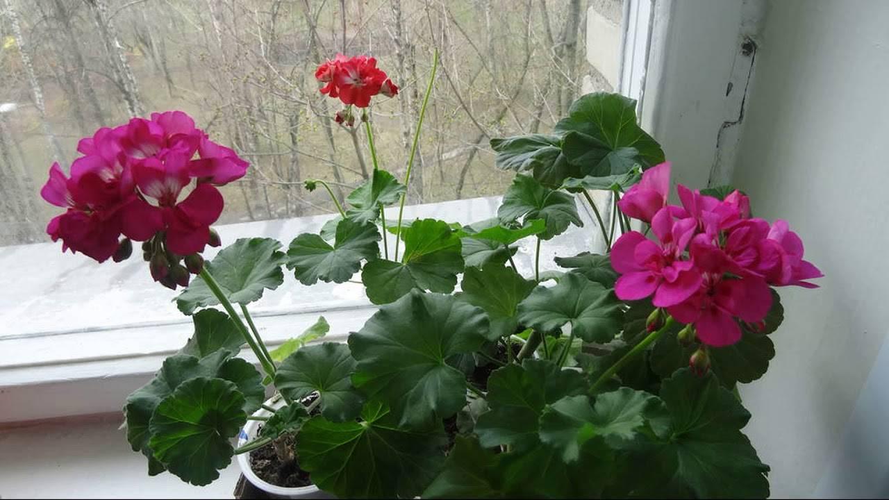 Приметы о герани в доме, выращивание и уход