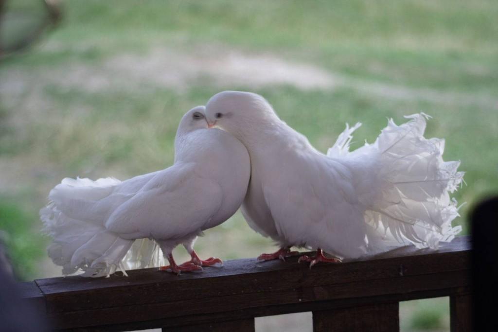 К чему прилетает белый голубь: примета