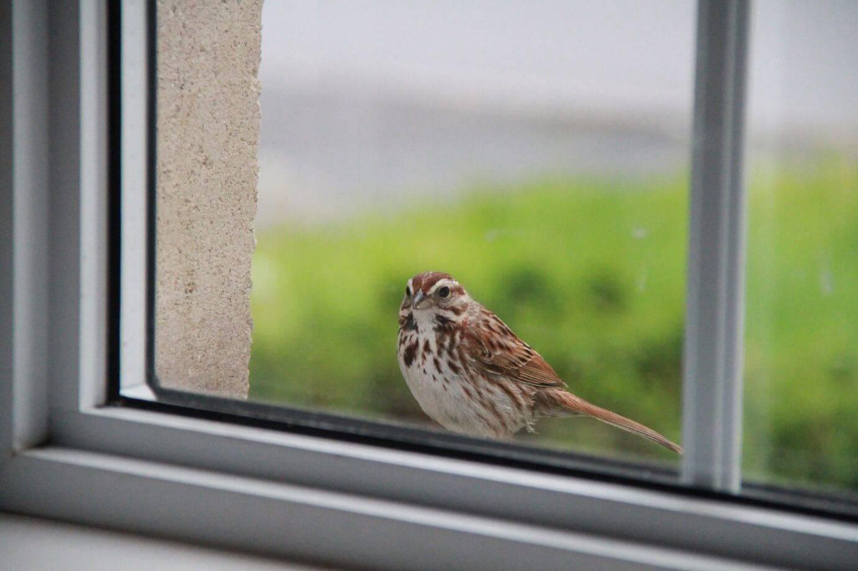К чему птица бьется в окно — пугающая народная примета