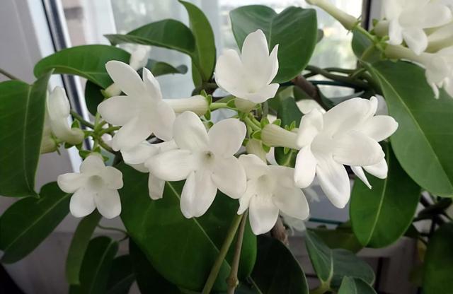 Стефанотис в доме — приметы и суеверия, фото растения