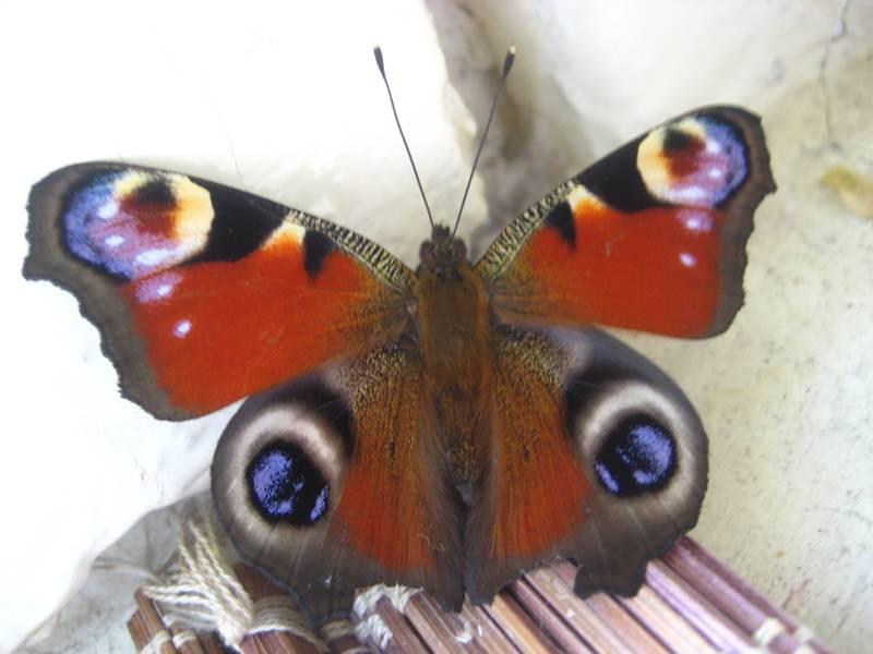 Народные приметы про бабочек