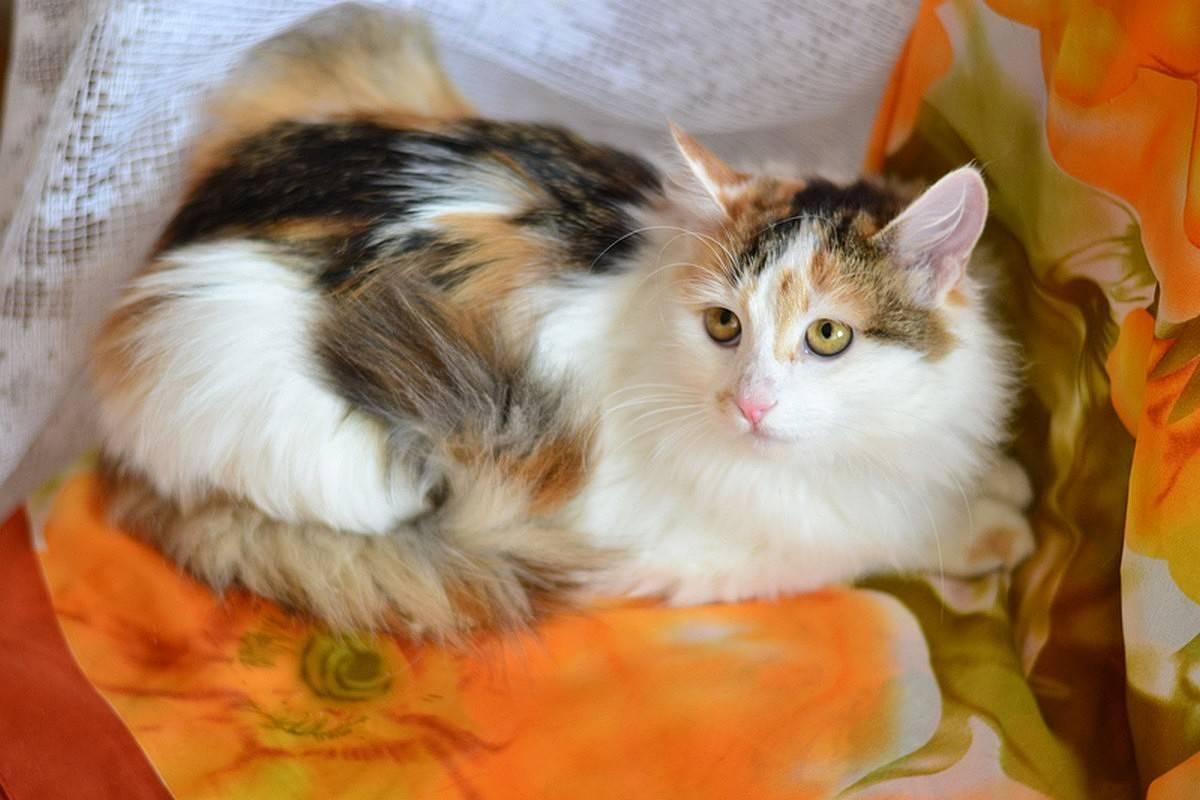 Трёхцветная кошка - описание, особенности, генетика окраса, приметы и поверья