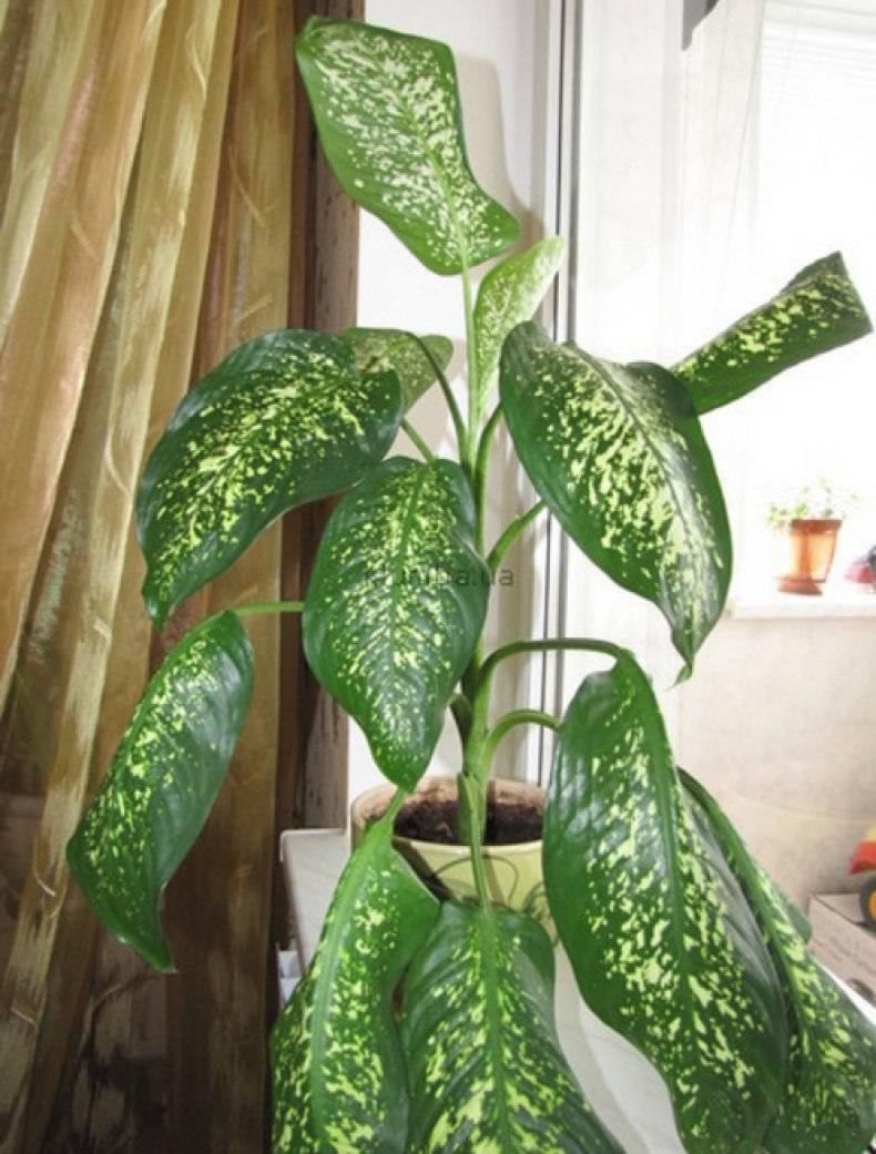 Диффенбахия - почему нельзя держать дома, чем опасен цветок для человека?