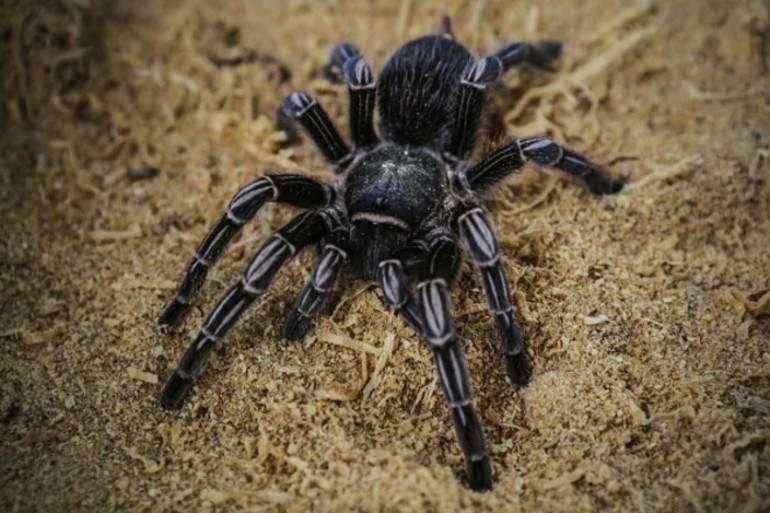 Ручной паук
