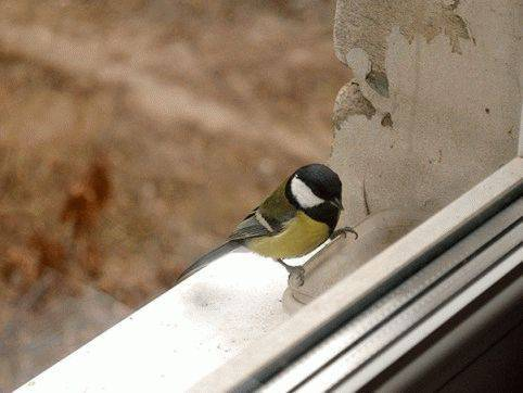 Примета синица залетела на балкон: позитивное и негативное значение