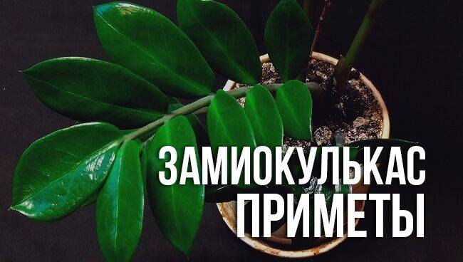 Замиокулькас: приметы и суеверия