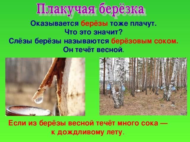 Приметы народные о посадке деревьев. из березы весной течет много сока - примета. примета: почему погибло денежное дерево