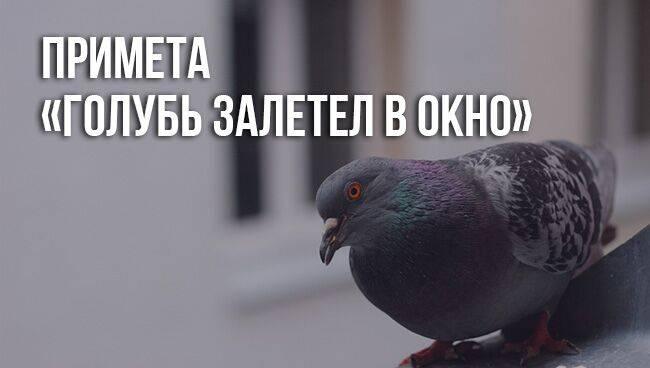 Что означает примета «голубь залетел в окно»?