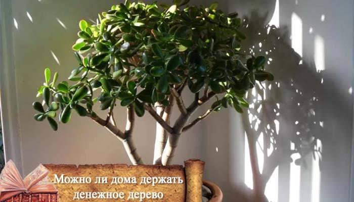 Денежное дерево: приметы и суеверия для дома, можно ли держать растение у себя дома, где именно поставить толстянку по фэн-шуй.