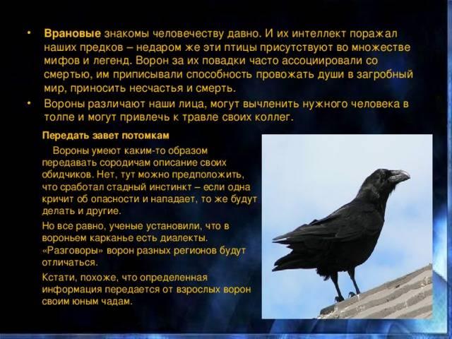 Ворона каркает — какие события предвещает данная примета и что с этим делать