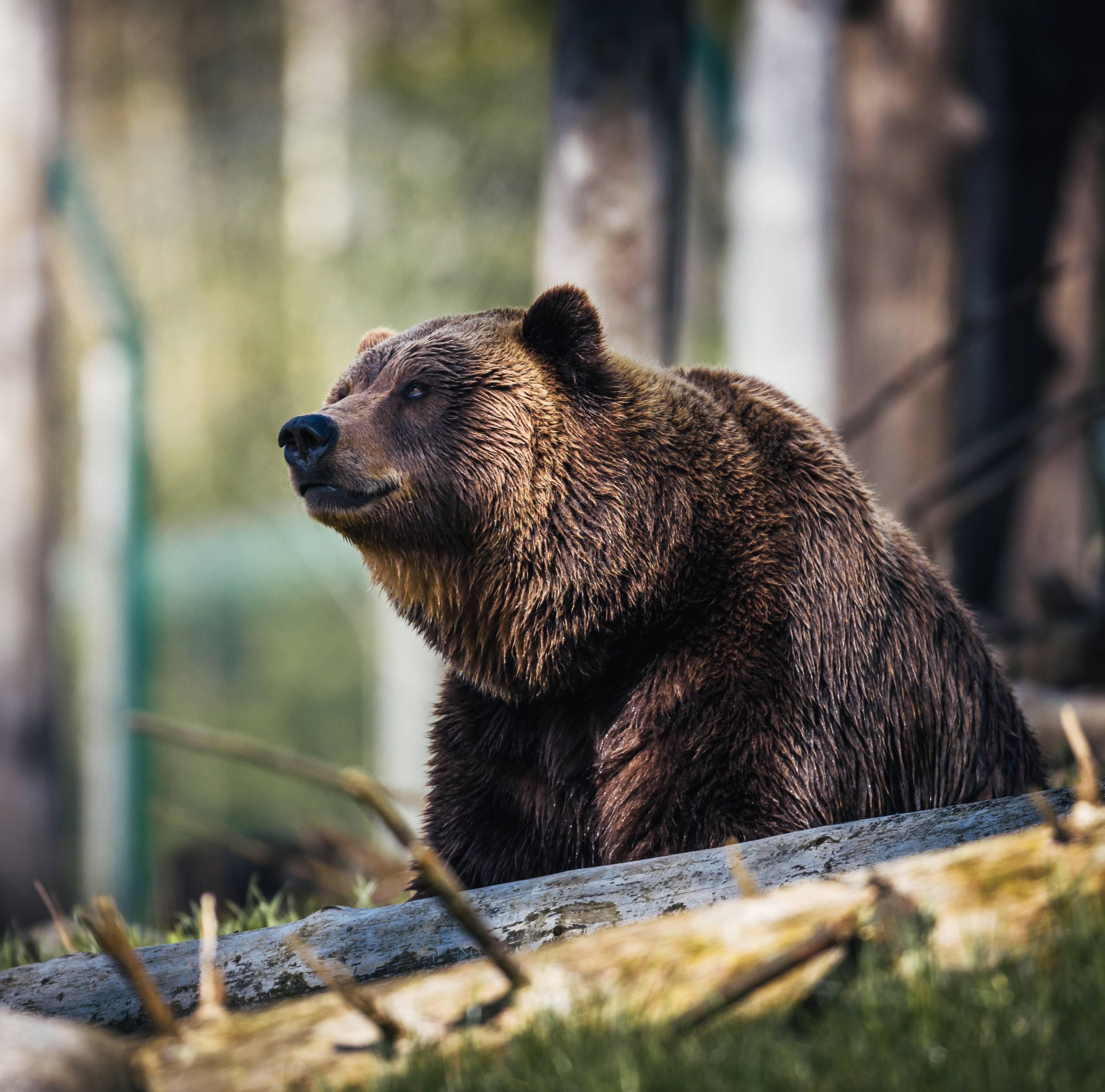 Сонник медведь, к чему снится медведь во сне видеть