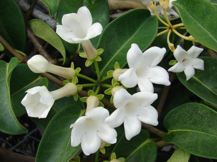 Стефанотис: уход в домашних условиях, фото, комнатный цветок, флорибунда, мадагаскарский жасмин, размножение, можно ли держать дома, желтеют листья что делать?