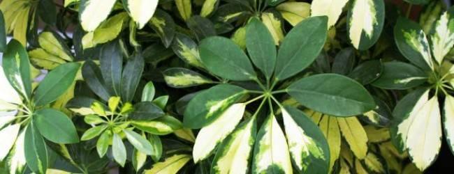 Можно ли держать шефлеру в доме: приметы и суеверия о цветке. шеффлера в доме: приметы и магические свойства