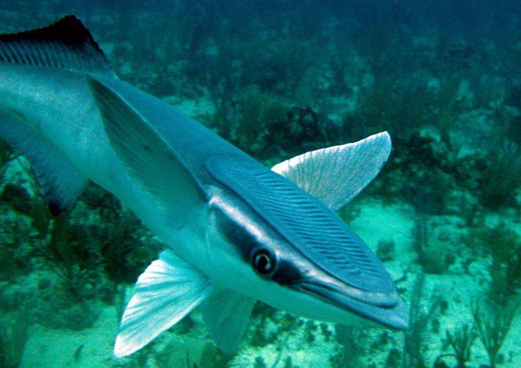 Акула и рыба-прилипала: тип взаимоотношений. как прилипает рыба-прилипала? :: syl.ru