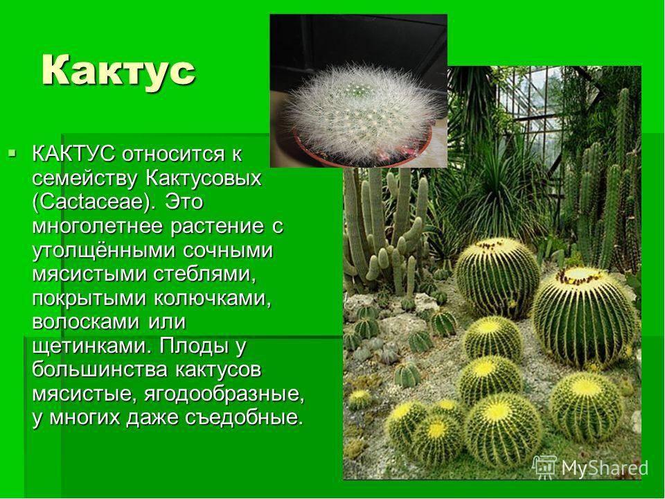 Чем полезен кактус и противопоказания к его употреблению