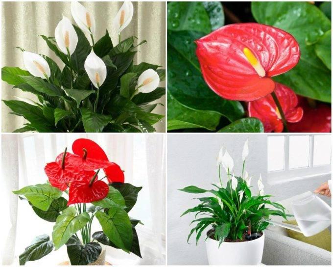 Спатифиллум или «женский цветок» — когда и к чему цветет, приметы и обряды
