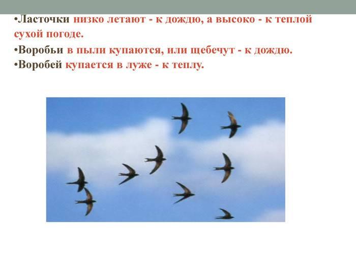Ласточки низко летают: народная примета