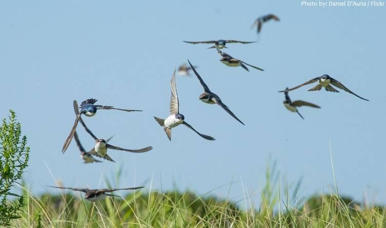 Примета: ласточки низко летают. приметы почему ласточки летают низко или высоко когда ласточки летают низко к дождю