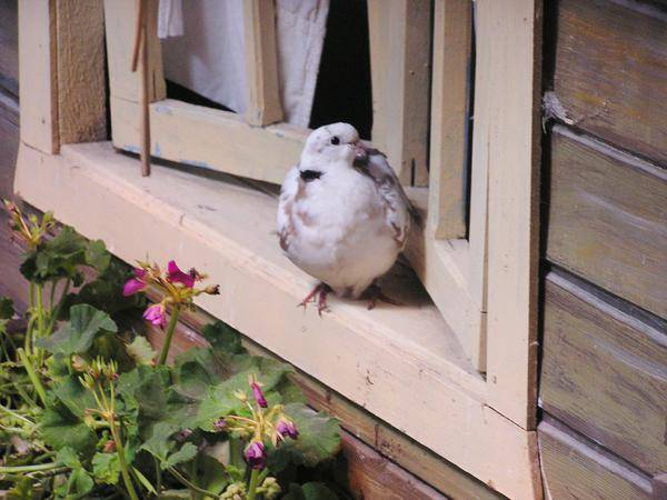 Залетел стриж на балкон: значение приметы